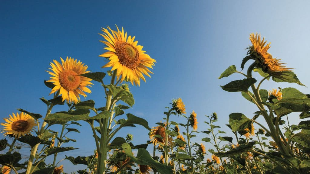 Sunflowers can recognize genetically-similar plants.